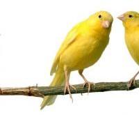 Como tener éxito en la cría de canarios