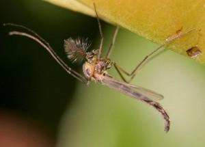 mosquito peligroso