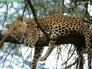 leopardo kenya africa