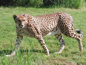 imagen leopardo salvaje