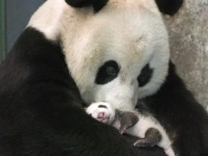 mama de oso panda con cria