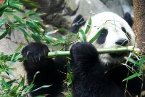 panda gigante comiendo