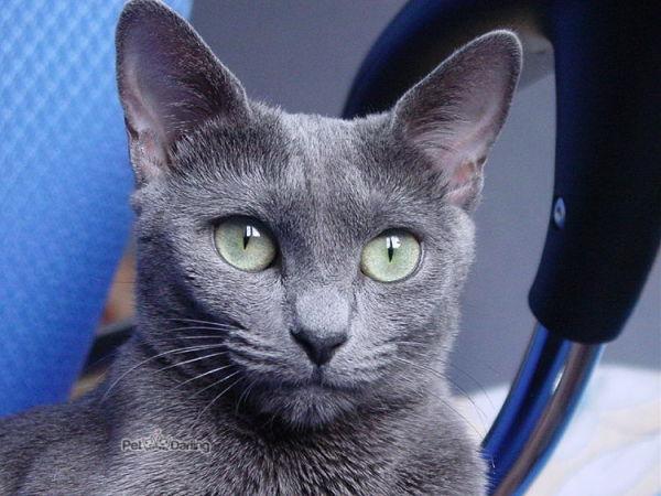 Gatos Azul Ruso-aspecto