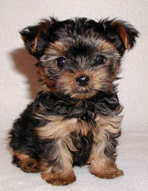Todo lo que debes saber del Yorkshire Terrier
