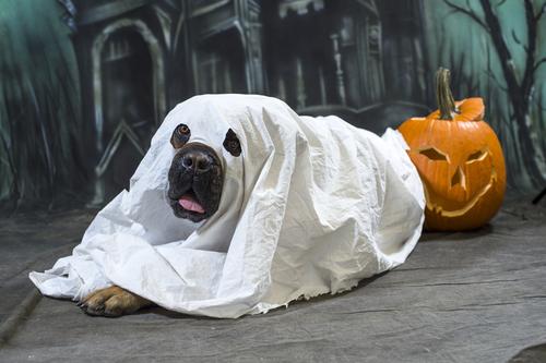 disfraces-caseros-para-mascotas-halloween-2015-disfraz-de-fantasma