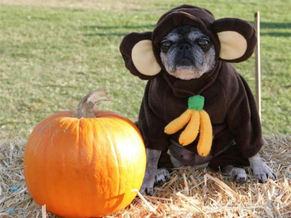 disfraces-caseros-para-mascotas-halloween-2015-disfraz-de-mono