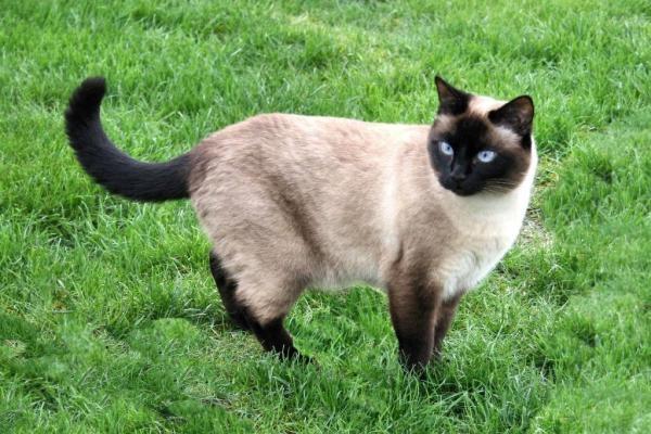 Gato siamés: características y comportamientos de este exótico animal