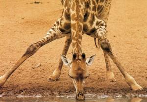 jirafa bebiendo