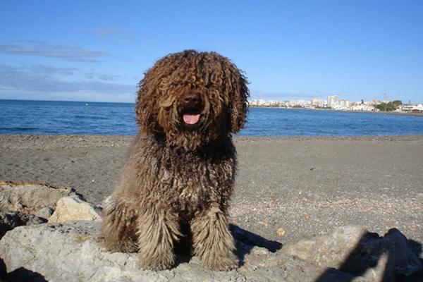 Perro de agua español: conoce todo sobre esta raza