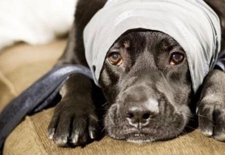 Tratamientos veterinarios para la infección urinaria en perros