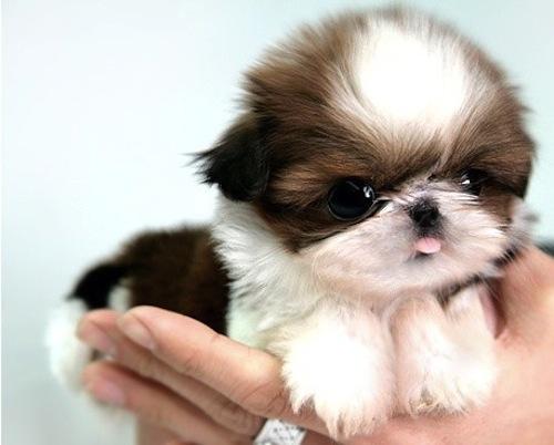 Fotos de perros de raza Shih Tzu