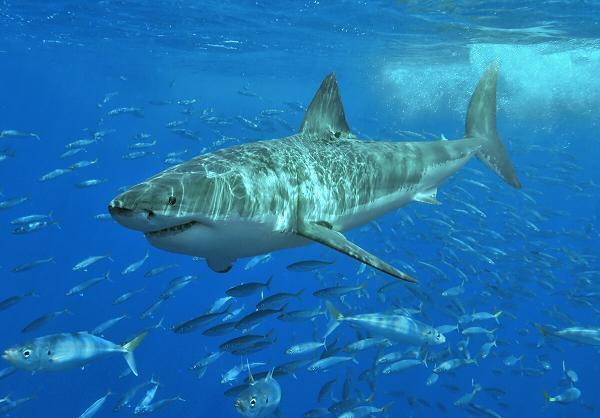 el-gran-tiburon-blanco-peligro-extincion
