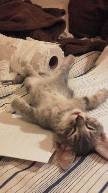 fotos-de-gatos-graciosos-gatito-tumbado