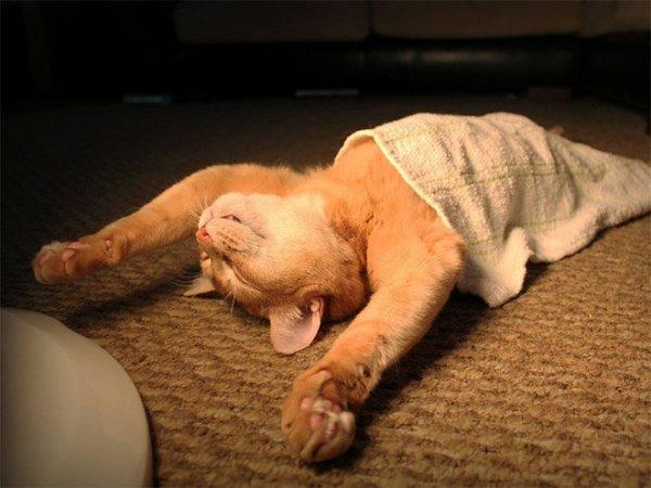 fotos-de-gatos-graciosos-gato-durmiendo-con-una-toalla