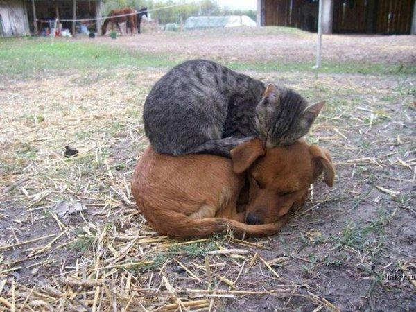 fotos-de-gatos-graciosos-gato-encima-de-perro
