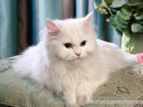 gatos-persas-aspecto-fisico