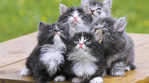 gatos-persas-tipos