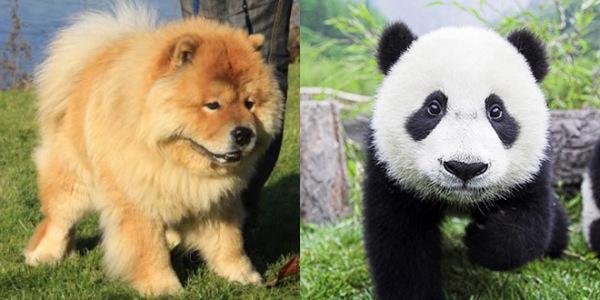 la-gran-moda-de-los-perros-panda-en-china-chowchow