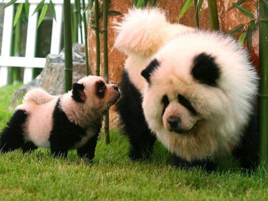 la-gran-moda-de-los-perros-panda-perro-panda-grande-y-cachorro