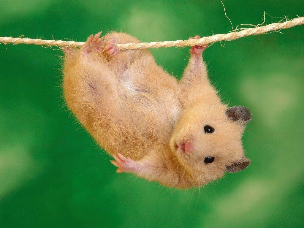 nombres-curiosos-y-extranos-para-mascotas-hamsters