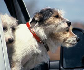 perro-carro