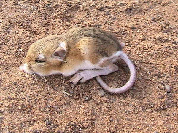 Animales sorprendentes: la rata canguro