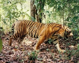 tigres en peligro de extincion