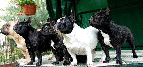 tipos-de-bulldogs-frances-ingls-y-americano-bulldog-frances