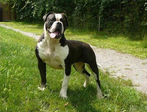 tipos-de-bulldogs-frances-ingls-y-americano-bulldog-frances.bulldog-americano