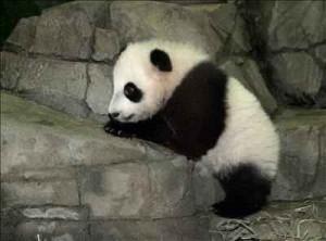 animal oso panda