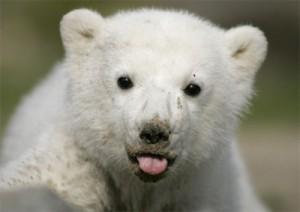 cria de oso blanco