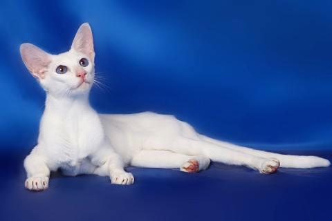 gato-oriental-blanco-cuidados