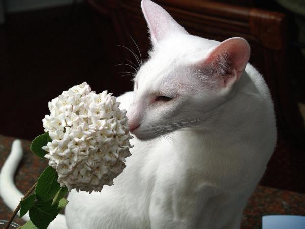 gato-oriental-blanco-flor