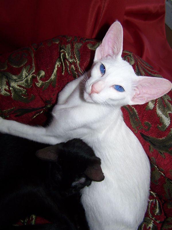 gato-oriental-blanco-sillon