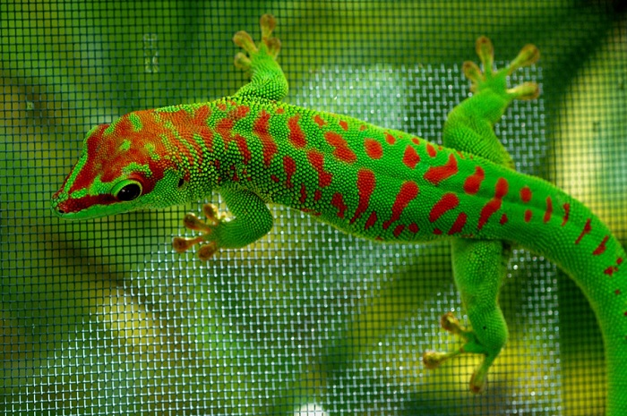 Gecko bicolor