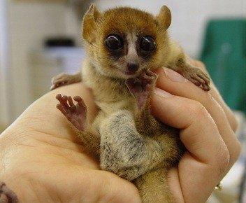 goodmans-mouse-lemur