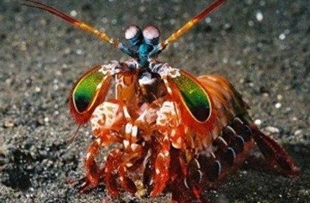 mantis-shrimp-790088-300x230