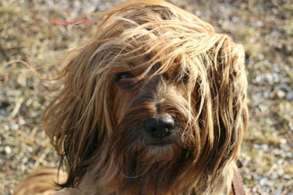 remedio-para-la-caida-del-pelo-del-perro-cabello-largo