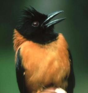 El pitohui,ave venenosa