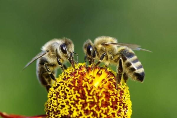 abejas_Desaparecen