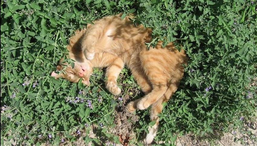 ¿Qué es el catnip?