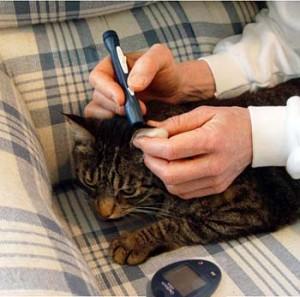 gato diabetes enfermedades