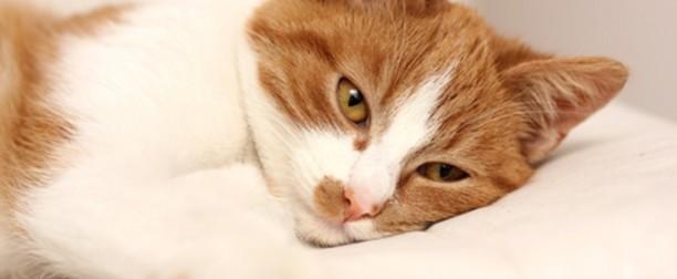 Cálculos urinarios en el gato I