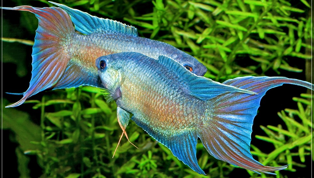 Los comportamientos sexuales de los peces