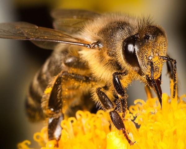 que pasaria si las abejas desaparecen