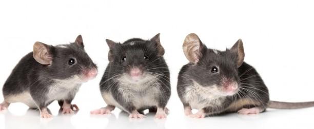En quirófano: ¿cómo se anestesia a un roedor?