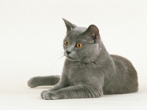 razas gato cha