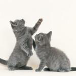 razas gato char