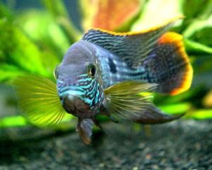 green terror peces