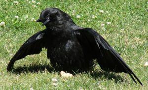 Calor en aves